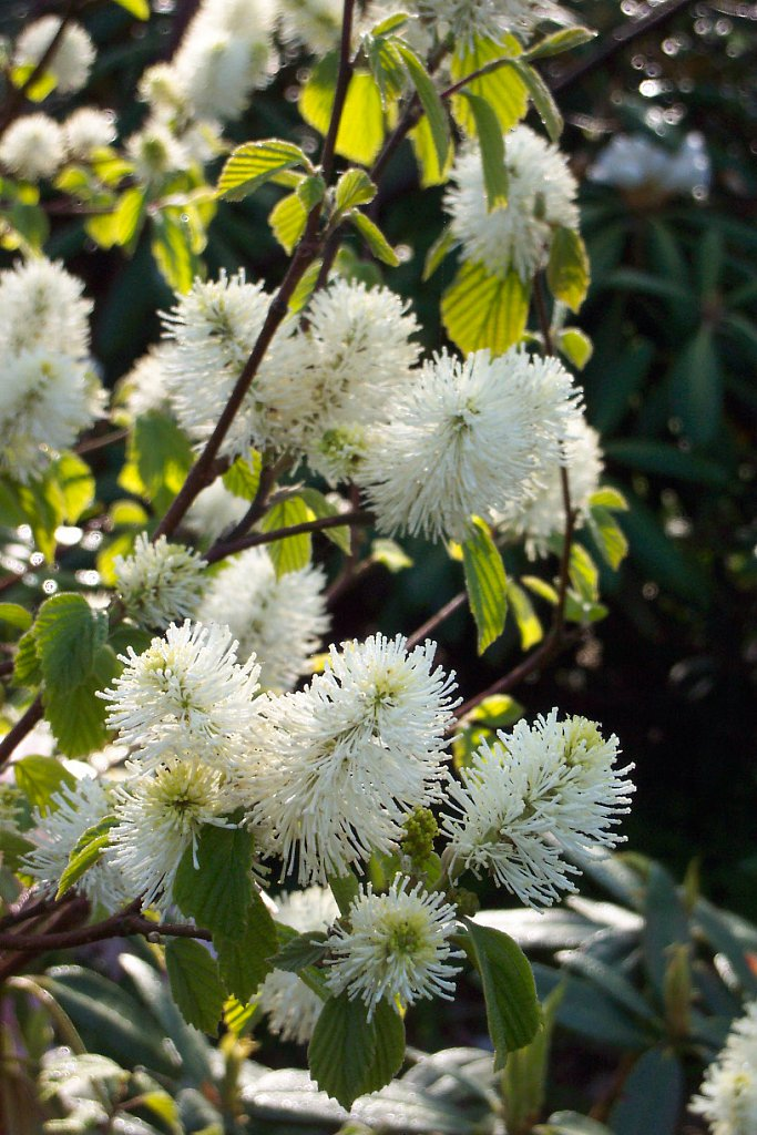 Forthergilla